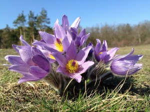 Homeopathy for Hot Flushes Pulsatilla